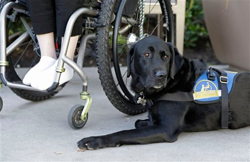 In this photo taken Tuesday, Oct. 8, 2013, Caspin a service dog sits below Wallis Brozman outside at a shopping mall in Santa Rosa, Calif. (AP Photo/Eric Risberg)
