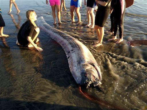 This Friday Oct. 18, 2013 image provided by Mark Bussey shows an oarfish that washed up on the beach near Oceanside, Calif. This rare, snakelike oarfish measured nearly 14 feet long. (AP Photo/Mark Bussey)