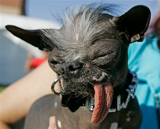 "In a Friday, June 22, 2007 file photo, the Chinese Crested and Chihuahua mix dog ""Elwood"" won the title of World's ugliest dog of 2007 at the 2007 World's Ugliest Dog Contest, in Petaluma, Calif."