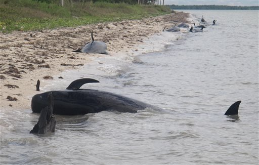 In this Tuesday, Dec. 3, 2013, photo provided by the National Park Service, pilot whales are stranded on a beach in a remote area of the western portion of Everglades National Park, Fla. (AP)