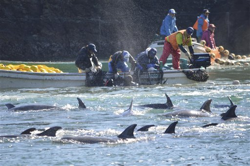 In this Sunday, Jan. 19, 2014 photo provided by Sea Shepherd Conservation Society Tuesday, Jan. 21, 2014, fishermen on boats catch bottlenose dolphins during the selection process in Taiji, western Japan.