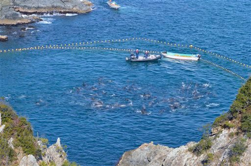 In this Thursday, Jan. 16, 2014 photo provided by Sea Shepherd Conservation Society Tuesday, Jan. 21, bottlenose dolphins are confined in nets in a cove by fishermen in Taiji, western Japan.