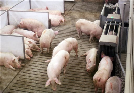 In this March 3, 2014 photo sows at Fair Oaks Farms in Fair Oaks, Ind., lay in nesting boxes, left, inside a larger group pen, while another eats inside an electronic feeding stall, right.