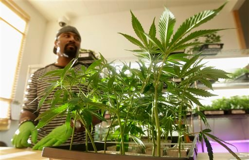 In this Feb. 1, 2011 photo, Harborside Health Center employee Gerard Barber stands behind medical marijuana clone plants at Harborside Health Center in Oakland, Calif. Law and order may soon be coming to the Wild West of Weed.