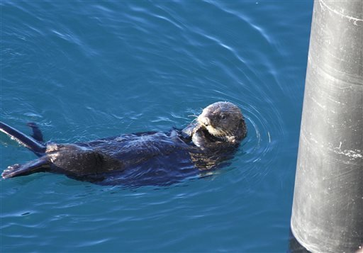 In this photo taken Thursday, Feb. 27, 2014, is a sea otter in the bay near the ferry dock in Valdez, Alaska.