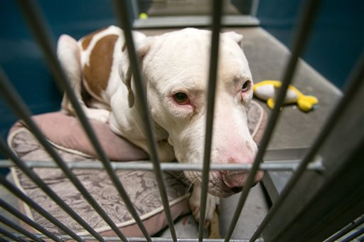 This March 11, 2014 photo shows Mickey, a pit bull, at West Valley Animal Care Center in Phoenix, Ariz. Mickey attacked four-year-old Kevin Vicente on Feb. 20, 2014. (AP)