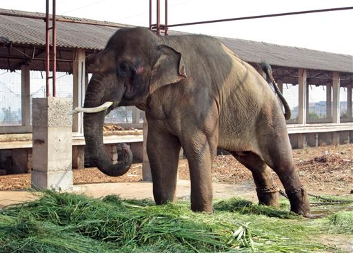 In this Feb. 19, 2014 photo provided by People for the Ethical Treatment of Animals (PETA), 14-year-old elephant Sunder stands chained outside a poultry shed in Kolhapur in the western Indian state of Maharashtra.