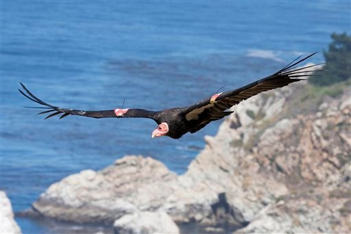 This July 21, 2012, file photo, provided by the Ventana Wildlife Society shows a condor in flight in Big Sur, Calif.