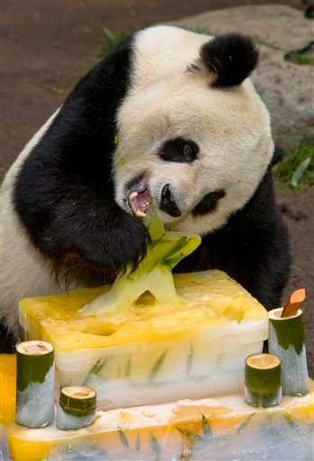 In this Jan. 21, 2009 file photo released by the San Diego Zoo, the zoo's male giant panda, Gao Gao, eats his birthday cake in San Diego.