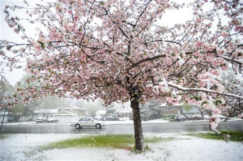 A car drives passed a tree covered in blossoms as a spring snow continues to fall across the Fort Collins, Colo. region Sunday, May 11, 2014. (AP Photo/The Coloradoan, Erin Hull)