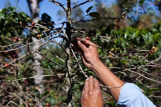 In this Feb. 9, 2013, file photo, small coffee producer Hector Perez show coffee beans damaged by the roya fungus in San Gaspar Vivar, Guatemala.