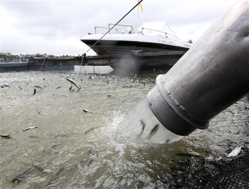 In this photo taken Thursday, April 24, 2014, young salmon that have been transported by tanker truck from the Coleman National Fish hatchery are loaded into a floating net suspended on a pontoon barge at Mare Island, Calif.