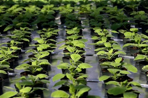 In this Aug. 14, 2014 photo, a unique strain of tobacco plant grows at Medicago USA, Inc. in Research Triangle Park, N.C. The Virus-Like-Particle plant-based vaccine facility is capable of producing millions of doses of vaccines per month.