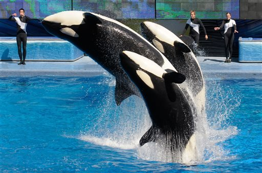In this March 7, 2011 file photo, trainers Joe Sanchez, left, Brian Faulkner and Kelly Aldrich, right, work with killer whales Trua, front, Kayla, center, and Nalani during the Believe show in Shamu Stadium at the SeaWorld Orlando theme park in Orlando, F