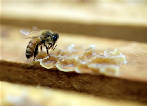 In this Wednesday, July 16, 2014 photo, a bee works on a honeycomb the Gene Brandi Apiary in Los Banos, Calif. (AP Photo/Marcio Jose Sanchez)