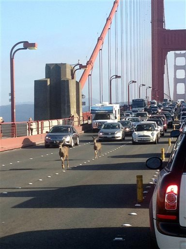 In this photo provided by Rebecca Abbey, deer cross the Golden Gate bridge, in San Francisco, Friday, Sept. 5, 2014. (AP Photo/Rebecca Abbey)