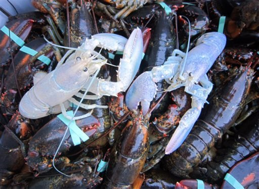 In this photo provided by Owls Head Lobster Company, two albino lobsters sit in a crate with other lobsters at Owls Head Lobster Company in Owls Head, Maine, Friday, Sept. 5, 2014.