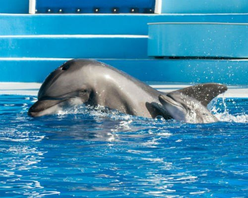 Sadie, a 13-year-old bottlenose dolphin, swims alongside her calf just moments after its birth. The calf was born today (Saturday, Oct. 18, 2014) at 3:32 p.m. at Dolphin Stadium at SeaWorld San Diego. (Photo credit: Mike Aguilera/SeaWorld San Diego)