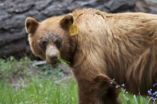 In this June 2009 photo provided by the Yosemite Conservancy is a black bear in Yosemite National Park, Calif.