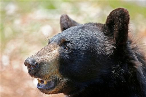 In this July 25, 2014 file photo, a black bear is seen at the Maine Willdlife Park in New Gloucester, Maine. On Nov. 4 Maine voters decide on a proposal to ban the use of bait, dogs, and traps to hunt black bears. (AP Photo/Robert F. Bukaty, File)