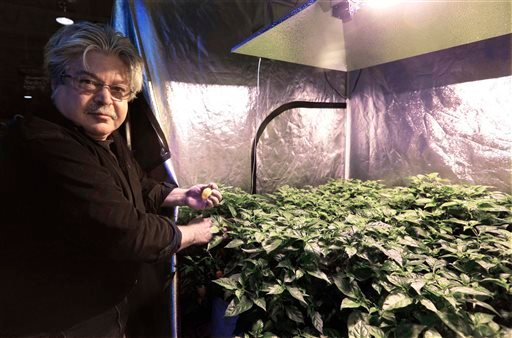 In this Oct.6, 2014, photo, David Ittel checks on habanero plants growing in his Brew & Grow Chicago store that are in a positive pressure tent under the latest technology Double Ended High Pressure Sodium system from Sunlight Supply.