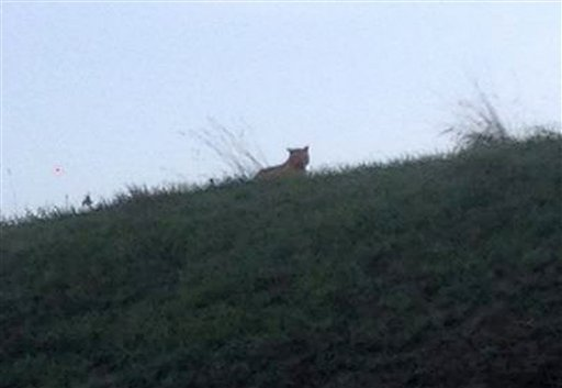 This photo provided by the town council of Montebrain, east of Paris, Thursday, Nov.13, 2014 shows what is described as a tiger.