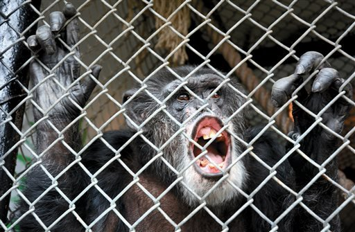 This Oct. 29, 2014 photo shows Tommy, a chimpanzee, smiling at his home in Gloversville, N.Y.