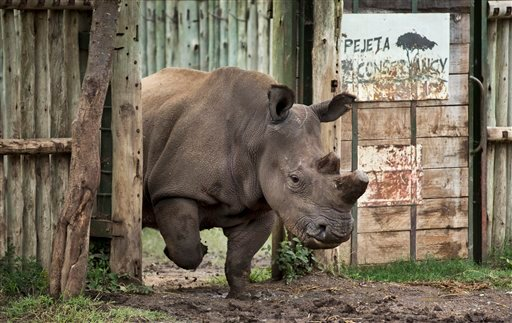In this photo taken Tuesday, Dec. 2, 2014, female northern white rhino Fatu leaves her pen to graze in the Ol Pejeta Conservancy in Kenya. (AP Photo/Ben Curtis)