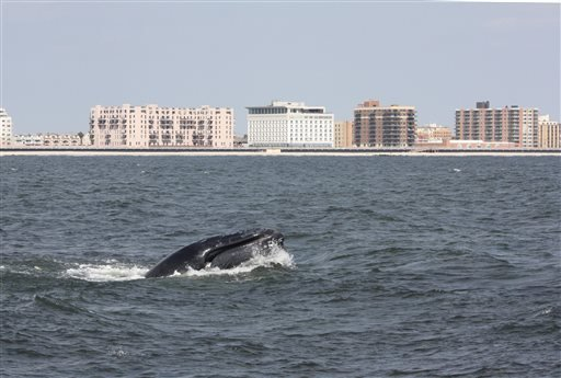 In this Aug. 19, 2014, photo provided by Gotham Whale, a humpback whale surfaces in the Atlantic Ocean just off the Rockaway peninsula near New York City. (AP Photo/Gotham Whale/Paul Sieswerda)