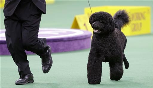 This Feb. 11, 2014, file photo shows Matisse, a Portuguese water dog, competing in the working group during the Westminster Kennel Club dog show in New York. (AP Photo/Frank Franklin II, File)