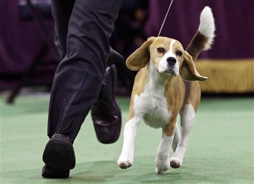 Miss P, a 15-inch beagle, and handler William Alexander, compete in the Best in Show group at the Westminster Kennel Club dog show Tuesday, Feb. 17, 2015, in New York.
