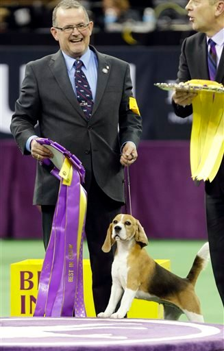Miss P, a 15-inch beagle, and handler William Alexander, react after winning the Best in Show at the Westminster Kennel Club dog show Tuesday, Feb. 17, 2015, in New York.