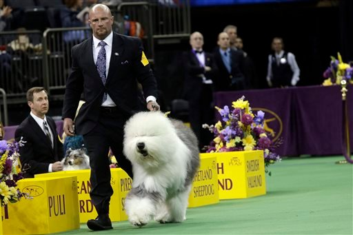 Swagger, an old English sheepdog, is shown in the ring during the herding group competition the Westminster Kennel Club dog show, Monday, Feb. 16, 2015, at Madison Square Garden in New York.