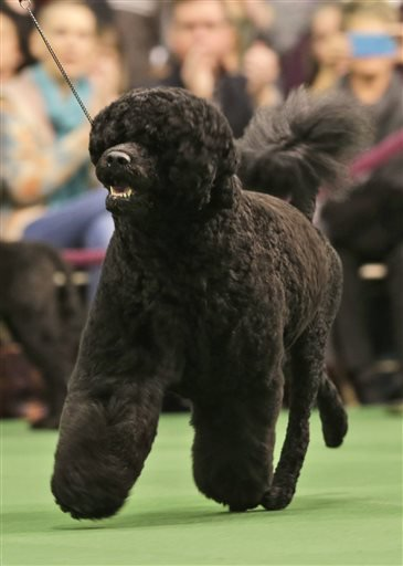 Matisse, a Portuguese water dog, competes at the Westminster Kennel Club show in New York, Tuesday, Feb. 17, 2015.