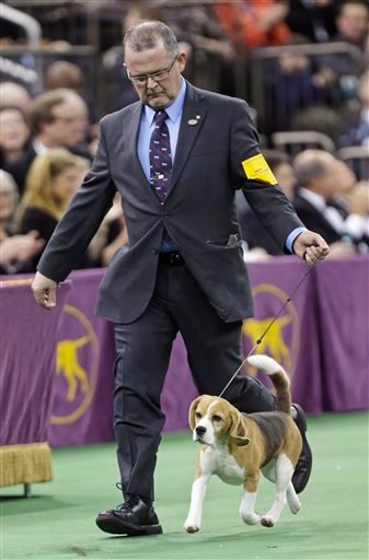 Miss P, a 15-inch beagle, and handler William Alexander, compete during the Best in Show at the Westminster Kennel Club dog show Tuesday, Feb. 17, 2015, in New York.