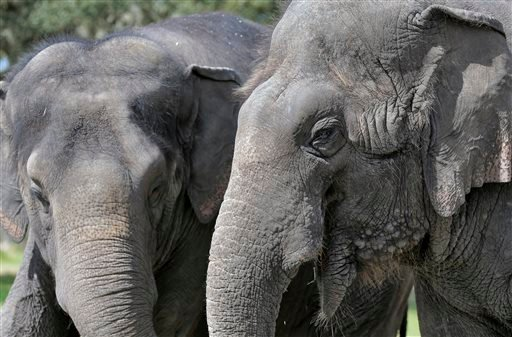 In this March 3, 2015 photo, elephants Icky, right, and Alana stand together at the Ringling Bros. and Barnum & Bailey Center for Elephant Conservation, in Polk City, Fla. (AP Photo/Chris O'Meara)