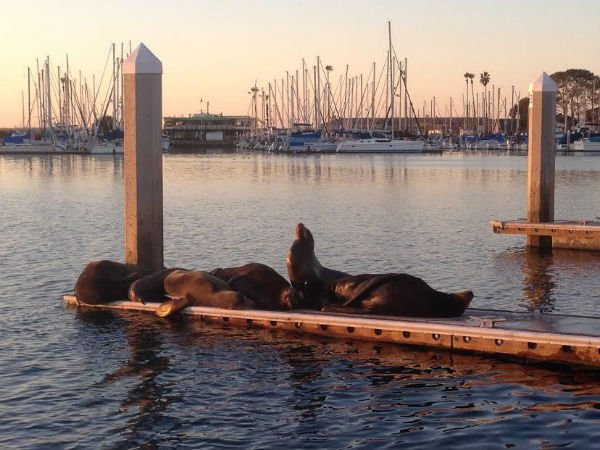 Sea lions typically bask in the late hours here in Oceanside Harbor. Remember to keep your distance. Don't attempt to feed or pet, as cute as they may look.