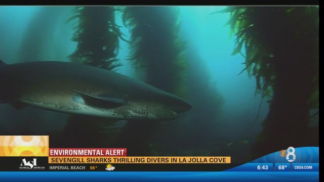 Sevengill Sharks Thrilling Divers In La Jolla Cove Cbs News 8 San Diego Ca News Station
