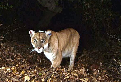 This Nov. 2014 file photo provided by the National Park Service shows the Griffith Park mountain lion known as P-22. (National Park Service, via AP, File)