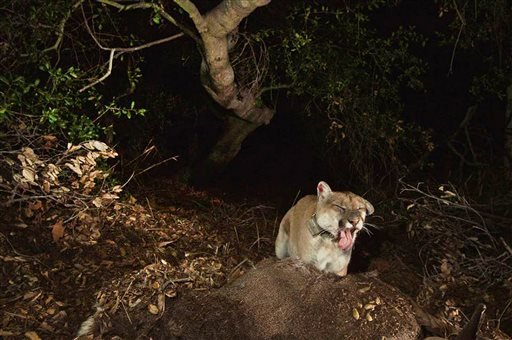 This Nov. 2014 file photo provided by the National Park Service shows a newly released image of the Griffith Park mountain lion known as P-22. (National Park Service via AP,File)