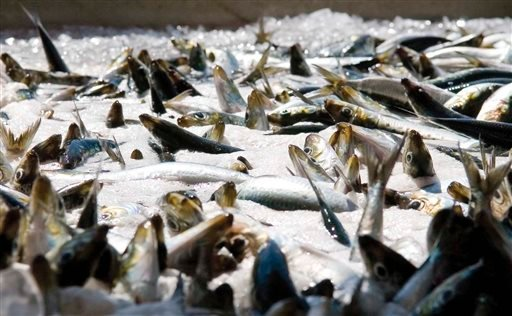 This Aug. 22, 2007 file photo shows freshly caught sardines awaiting sorting at West Bay Marketing in Astoria, Ore. (AP Photo/The Daily Astorian, Alex Pajunas)