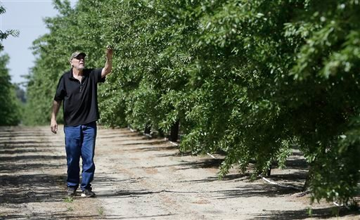 In this Tuesday March 31, 2015 photo, almond grower Bob Weimer inspects almond trees in his orchard near Atwater, Calif. As California cities and towns move to mandatory water cutbacks in the fourth year of extreme drought, the state's $6.5 billion almond