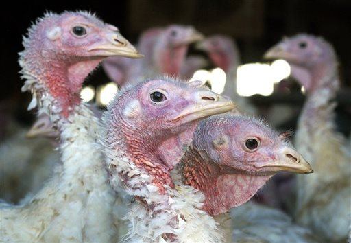 In this Nov. 2, 2005 file photo, turkeys are pictured at a turkey farm near Sauk Centre , Minn. A deadly strain of bird flu has reached the Midwest, killing or requiring hundreds of thousands of turkeys to be euthanized. (AP Photo/Janet Hostetter,File)