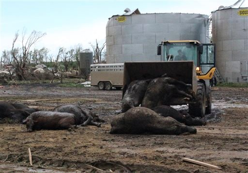 Cow carcasses are piled up in a farm field after having either died in the tornado or hurt and later euthanized Sunday, May 10, 2015, in Delmont, S.D. South Dakota was the center of weather extremes Sunday, with a tornado hitting the small town on the eas