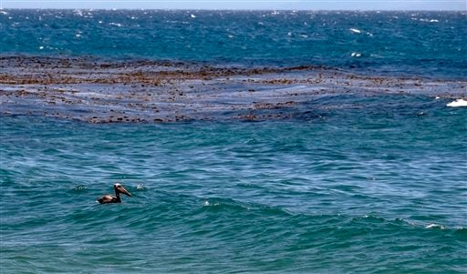 A pelican is seen floating in the water near an oil-contaminated patch of seaweed at Refugio State Beach, north of Goleta, Calif., Friday, May 22, 2015. Officials say the sheen of oil is now thinner than a coat of paint and is becoming harder to skim from