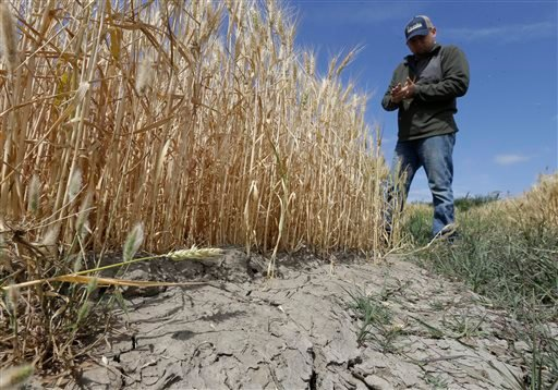 In this Monday, May 18, 2015 file photo, Gino Celli inspects wheat nearing harvest on his farm near Stockton, Calif. Moving to meet voluntary water conservation targets, dozens of farmers in the Sacramento-San Joaquin River Delta submitted plans Monday, J