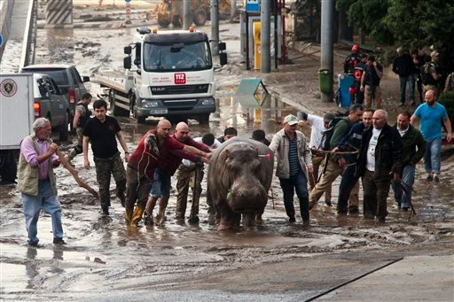 People assist a hippopotamus that has been shot with a tranquilizer dart after it escaped from a flooded zoo in Tbilisi, Georgia, Sunday, June 14, 2015. Tigers, lions, a hippopotamus and other animals have escaped from the zoo in Georgia's capital after h