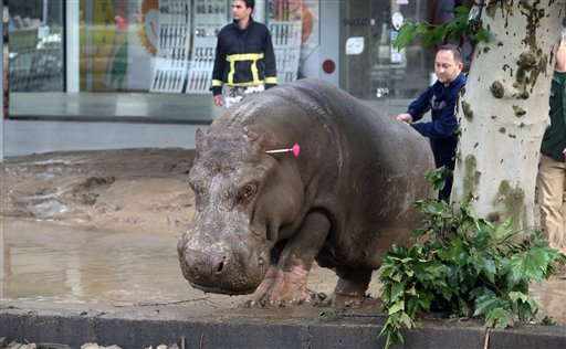 People follow a hippopotamus that has been shot with a tranquilizer dart after it escaped from a flooded zoo in Tbilisi, Georgia, Sunday, June 14, 2015. Tigers, lions, a hippopotamus and other animals have escaped from the zoo in Georgia's capital after h