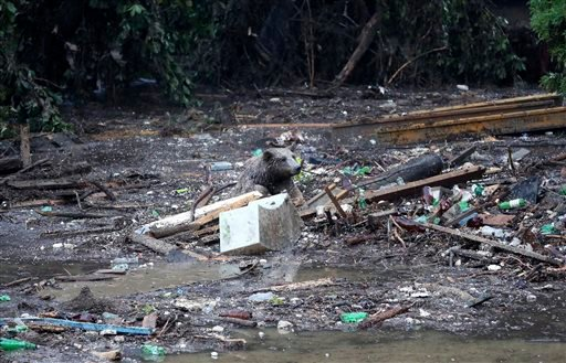 A bear tries to save itself from a flooded zoo area in Tbilisi, Georgia, Sunday, June 14, 2015. Tigers, lions, a hippopotamus and other animals have escaped from the zoo in Georgia's capital after heavy flooding destroyed their enclosures, prompting autho