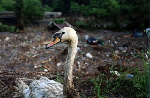 A wounded swan is seen at a flooded zoo area in Tbilisi, Georgia, Sunday, June 14, 2015. Tigers, lions, a hippopotamus and other animals have escaped from the zoo in Georgia's capital after heavy flooding destroyed their enclosures, prompting authorities